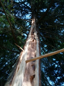 Lightning_struck_fir_up_trunk_20150713_083335